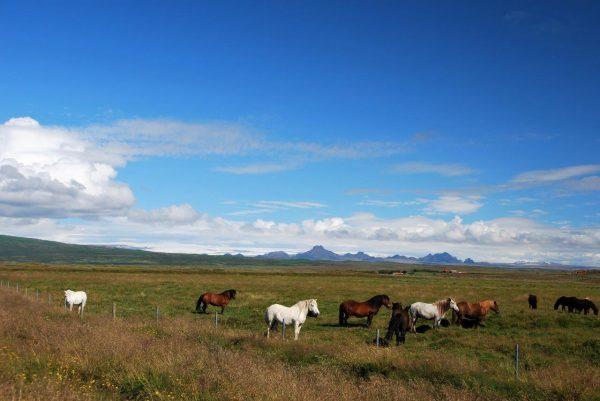Islandpferden gehts richtig gut