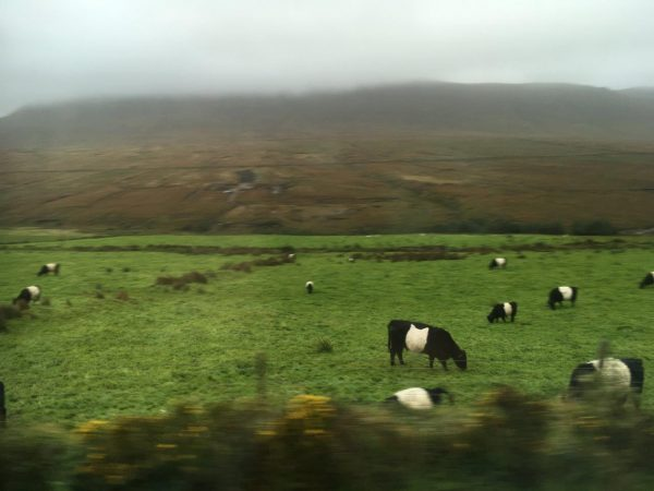 Kreuzung Tapir-Irland-Rind